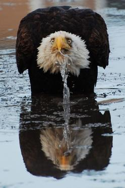 What a wonderful picture of an Eagle reflection...