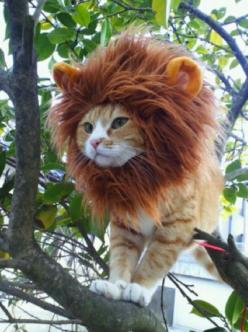Would it be wrong to put my dog in a costume like this?  I mean, any more wrong that it would be to put him in ANY costume at all?: Halloween Costume, Cats, Animals, Lion Cat, Pets, Funny, Lion King, Things, Kitty