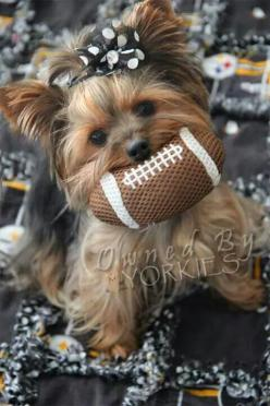 """""""Who knows anything about football?"""" #dogs #pets #YorkshireTerriers Facebook.com/sodoggonefunny: Football Dogs, Yorkies Funny, Dogs Pets, Pets Yorkshireterriers, Funny Yorkies, Football Season, Animal"""