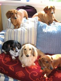 "A ""Floc-O-Dachs"". There is no such thing as too many. Only have two, myself, but the house is open to as many as find their way in.... SO MUCH LOVE in Dachshunds!: Dad, Sausage Dogs, Dog Photos, Wiener, Weiner Dogs, Oscar"