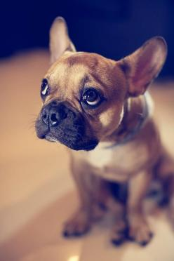 Adorable French Bulldog: Animals, French Bulldogs, Pet, Frenchbulldog, Puppy, Friend, Eye