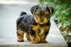 Adorable yorkie puppy: Animal Pictures, Animals Pets, Puppy Yorkie, Animals Dogs Puppies, Puppy Fur, Animals Pictures, Adorable Yorkies