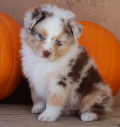 Another Darla later...but need half doodle again. Pretty red merle...Mini Australian Shepherd: Pretty Red, Red Merle, Half Doodle, Mini Australian Shepherds, Merle Mini, Aussie Puppies, Animal