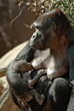 Ape: nursing Baby Gorilla | Newborn gorillas are weak and tiny, weighing in at about 4 pounds. Their movements are as awkward as those of human infants, but their development is roughly twice as fast. At 3 or 4 months, the gorilla infant can sit upright a
