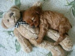 awe!!!  (tried to find original source... if you know it, pls share): Animals, Dogs, Sweet, Teddybear, So Cute, Teddy Bears, Pet, Puppys, Puppy