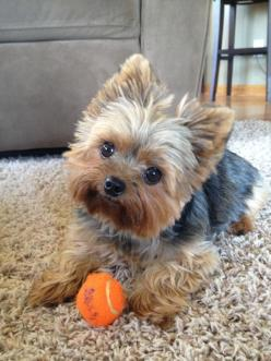 Aww! My heart just melt every time I see a picture like this: Puppies Yorkie, Yorkie Haircut, Yorkshire Terrier, Baby Yorkie, Dog Haircut