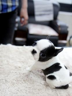 Awwww! If only my boston was still that small!: Animals, Dogs, Pet, Puppys, Puppy, Baby, Boston Terriers