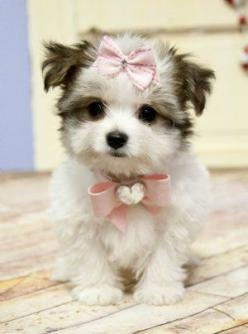 Be proud of who you are, even if you're the only one wearing a bow on the top of your head.: Dogs, Pet, Puppys, Morkie Puppies, Box, Baby, Animal