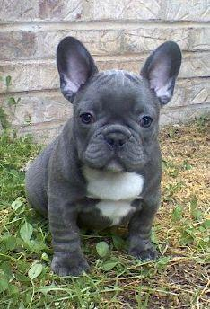 Blue Frenchie: Blue Frenchie, French Bull Dog, Frenchbulldog, Baby, Blue French Bulldogs, French Bulldog Puppies, Animal, Bull Dogs