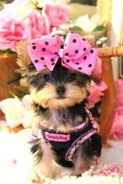 Click the picture to see some more lovely dog photos! DOGSArena.com: Animals, Dogs, Polkadot, Yorkie Puppies, Pets