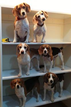 Crazy cat lady organizer.... BUT BEAGLE EDITION!!! I need this, all the beagles!! They're so cute!!: Crazy Cats, Beagles Rule, Animals Dogs, Dogs Pets, Crazy Cat Lady, Beagles Beagles, Beagles They Re, Beagles 3, Adorable Beagles