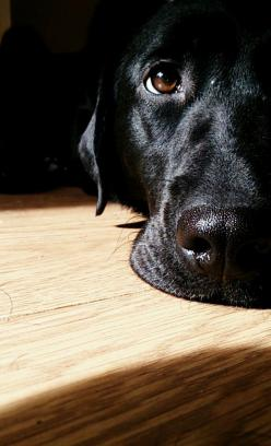 cute-overload:  My lab pup Lilly laying in the sun :)http://cute-overload.tumblr.com: Labrador Retriever, Dogs, Pet, Black Labs, Black Labrador, Animal