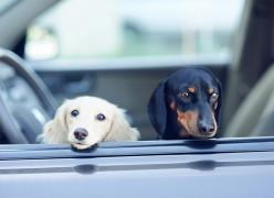 {♥} #Dachshund #doxiedarlin': Sweetbabydogs994 Blogspot, Sweetbabydogsvernice Blogspot, Dachshund Doxiedarlin, Cute Pets, Cars, Baby Dogs, Photo, Sweetbabydogs657 Blogspot