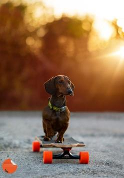 Dachshunds are awesome normally, but LONGBAORDING dachshunds??? Even better.: Skateboarding, Daschund, Dogs, Sporting Dachshund, Doxies, Photo, Animal