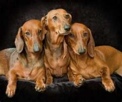 Dachshunds-Such Beauties!!: Doxies Rule, Daschund, Doxie Dogs, Things Dog Dachshunds, Wiener Dogs, Doxies Hot Dog, Darling Doxies, Animal