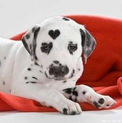 Dalmatian with a perfect heart mark on head image - Follow the pic for more awww: Puppies, Animals, Sweet, Dogs, Pets, Puppys, Dalmatians, Friend