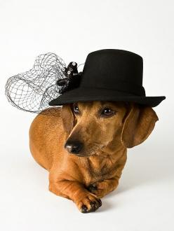 {Diva doxie} so Greta Garbo!: Diva Doxie, Two, Animals, Girl, Diva Doggies, Pet, Dogs Doxies, Friend