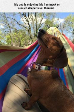 Doxies know how to ENJOY life!: Funny Animals, Doggie, Deeper Level, Hammocks, Doxies, Wiener Dogs, Dachshund S