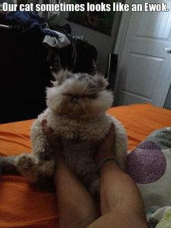 Funny cats attack on Caturday!!–12 Pics--A cat looks like a Ewok: Cats, Ewok Kitty, Animals, Funny Pictures, Funny Cat, Star Wars, Funnies, Ewok Cat, Cat Lady