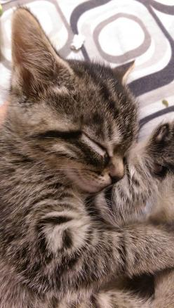 "How precious is this? * * "" DON'TS ASK MEEZ, I IZ DE SUBJECT OF DIS PHOTO. FURTHERMORE, I'D LIKE TO CONTINUE SNOOZIN'."": Kitty Cat, Tabby Cat, Baby Cat, Adorable Animal"