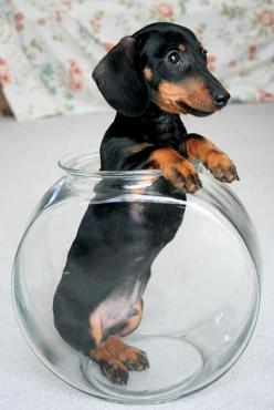 I had one of these why I was growing up...I used to wiggle my finger at him and he would growl.....hahaha: Bowl, Animals, Dogs, Dachshund Puppies, Wiener, Doxies, Puppy, Baby