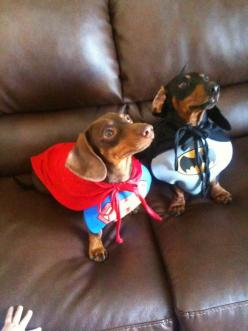 I hate the idea of dressing up dogs but I gotta admit, these 2 look ready & determined to conquer mean villains.: Super Dogs, Animals, Weenie, Superdog, Doxies, Costume, Super Heroes, Superhero