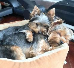 I love my baby.... these two are so adorable: Animals, Sweet, Puppy, Baby, Dogs Especially Yorkies, Yorkshire Terriers, Adorable Yorkies
