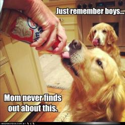 I love that the one in the background is licking his lips!: Animals, Remember Boys, Dogs, Golden Retrievers, Pets, Funnies, Funny Animal, Whipped Cream