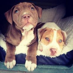 If it weren't for stupid apartment breed restrictions, I'd definitely be looking at adopting a pit bull.: Puppies, Animals, Dogs, Pet, Puppys, Baby, Eye