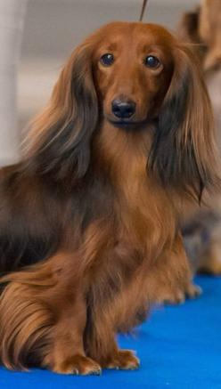Kim kardashian has nothing on me I'm fabulous: Pets Dachshunds, Dachshunds Longhaireds, Dachshund Doxiedarlin, Pets Doxies, Dogs Pets, Hair Doxies, Shaded Red, Red Long Haired Dachshund