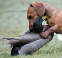 Look mom!  I found a duckie! This looks just like Sophie looks like something she would do to our white ducks!!: Animals, Dogs, Dachshund, Interspecies Friendship, Doxie, Pets, Animal Friends, Odd Couples