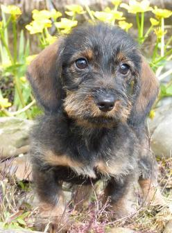 .Love Dachshunds? Then why not join our Dog & Cat Lovers Facebook Page, Just click Below https://www.facebook.com/pages/Dont-Hurt-Me-Im-Your-Best-Friend/636479679717238: Wired Haired Dachshund, Dapple Dachshund, Wire Haired Dachshund Puppy, Ruwharige