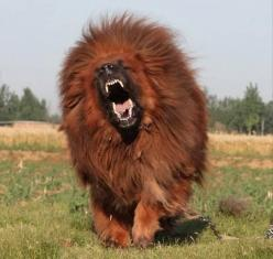 mastif Tibetan Such a cool looking dog!: Lion, Mastiff Dogs, Animals Dogs, Google Search, Funny, Red Tibetan, Dog, Tibetan Mastiffs