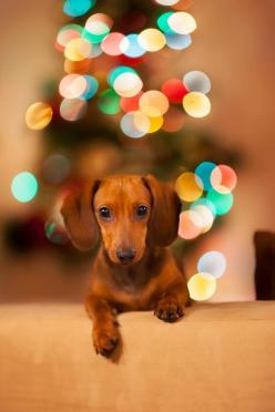 Merry Christmas!: Daschund, Doxies, Dog, Christmas Doxie, Christmas Gift, Merry Christmas, Animal