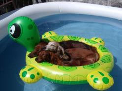 napping dachshunds: Animals, Dogs, Pets, Funny, Doxies, Summer, Pools, Friend