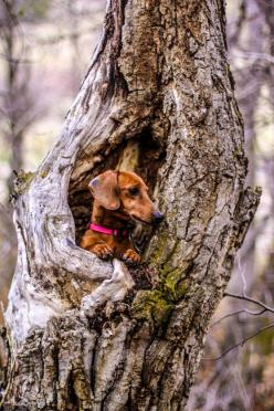 Now where did that squirrel go?: Animals, Tree, Pet, Doxie, Puppy, Dachshund S