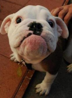 O my goodness. Cuteness overload!!!!    Get best pet care tips most pet owners need to know!  https://vu106.infusionsoft.com/go/tips/HVC/P: Puppies, Animals, Faces, English Bulldogs, Pets, Funny, Adorable, Puppy, Things