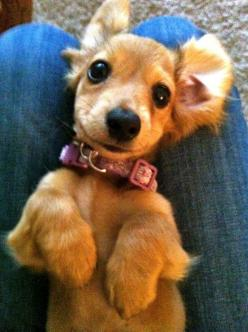 oh hey, cutie.: Dachshund Adorable, Sweet, Dachshund Puppies, Wiener, Doxies, Baby, Dog, Animal