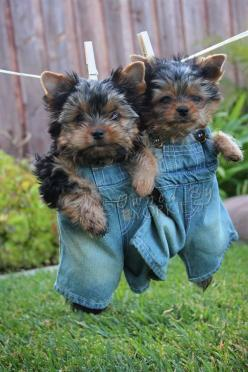 OMG! LOVE!!! ~♥~: Animals, Dogs, Yorkshire Terrier, Yorkie Puppies, Pets, 640 960, Puppy