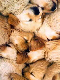 OMG. PUPPY PILE!: Puppies, Animals, Dogs, Golden Retrievers, Pet, Puppy Pile, Puppys, Golden Retriever
