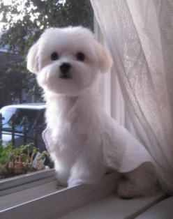 pictures of a maltese with a 2 inch cut | Your very favorite pictures - Page 2 - Maltese Dogs Forum : Spoiled ...: Dogs Forum, Maltese Puppy Cut Haircuts, Maltese Puppies, Pets, Maltese S, Favorite Pictures, Maltese Haircuts, Maltese Dogs Haircuts, Animal