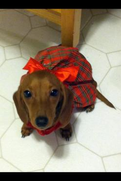 Pretty Dachshund girl in her Sunday best.: Dogs Dressed, Dachshunds Rule, Christmas Outfit, Pet, Darling Doxies, Wiener Dogs, Animal