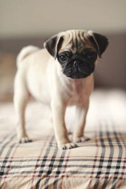 pug love - they are so cute (though I will stick with my Boston Terriers): Animals, Pug Puppies, Dogs, Pug Life, Cute Pug, Pet, Pugs
