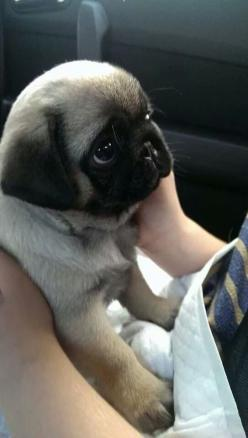 Pug pup: Animals, Dogs, Pets, Adorable, Puppy, Box, Baby Pugs, Eye
