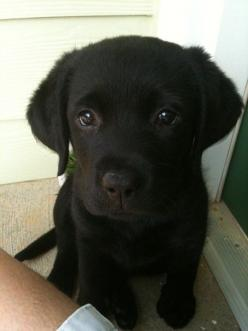 So not a dog girl but look at those eyes?!(*^%#! And that cute widdle body and those flopsy ears!!!: Black Labradors, Labrador Puppy Black, Black Labrador Puppy, Lab Puppies, Labradors Puppy, Black Labrador Puppies, Black Labs, Animal