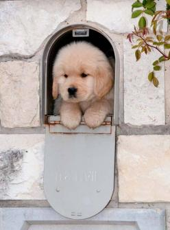 Special Delivery...Hugs and Kisses for you!  Click on this image to find more cute #GoldenRetriever #puppy pictures: You'Ve Got Mail, Golden Retrievers, Dog, Special Delivery, Animal, Golden Retriever Puppies, Golden Retriever