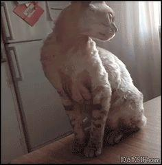 Steve, not now. I'm being serious. #funny #cat #gif #gifs