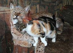 Stray cat sneaks into zoo enclosure, finds another cat - Imgur: Kitten, Animals, Best Friends, Friendship, European Lynx, Calico Cats, Stray Cat, Zoos