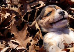 Sunshine on my face and leaves to my back! Beagle love!: Animals, Dogs, Happy, Pets, Fall, Beagles, Puppys, Smile