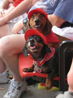 Take me out to the ballgame...take me out with the crowd.. I promise not to bark or fart too loud...: Animals, Hotdogs, Dachshund, Doxies, Wiener Dogs, Hot Dogs